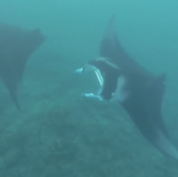 Manta Rays in Tumon Bay Guam